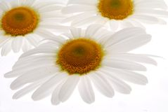 Chamomile flowers Royalty Free Stock Images