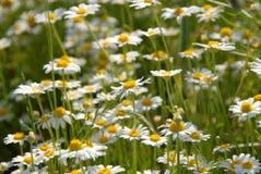 Chamomile flowers Stock Image