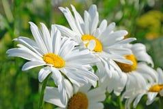 Chamomile flowers Stock Photos
