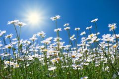 Chamomile flowers. Against the sky stock images