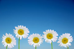 Chamomile Flowers Royalty Free Stock Image