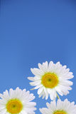 Chamomile Flowers Stock Images