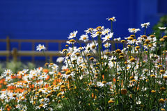 Chamomile flowers. On a grass field Stock Images