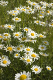 Chamomile flowers. Bunch of chamomile flowers on a meadow Stock Photo