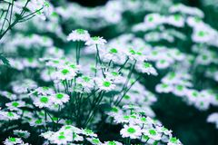Chamomile flowers in abstract colors for decorative design. Green disc and white petals. Artistic background texture for banners, posters and other pattern stock photo