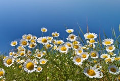 Chamomile flowers. Against the sky royalty free stock photo