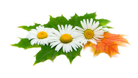 Chamomile flowers and autumn leaves Royalty Free Stock Images
