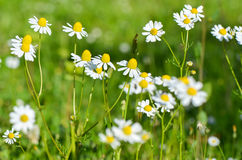 Chamomile flowers in beautiful nature scene. Blooming medical chamomilles in sun flare. Beautiful blooming daisy field. Daisy flow. Chamomile flowers in Stock Photography