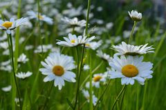 Chamomile flowers. Beautiful summer scene with blooming daisies royalty free stock photo