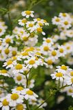Chamomile flowers. Beautiful white flowers of chamomile in the summer botanical garden stock images