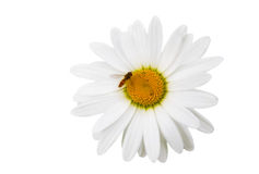 Chamomile flowers with the bee. Isolated on white Stock Photos