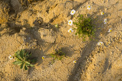 Chamomile flowers blooming in the desert Royalty Free Stock Images