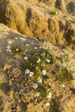 Chamomile flowers blooming in the desert Stock Image