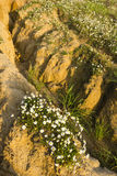 Chamomile flowers blooming in the desert Royalty Free Stock Photography