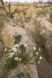 Chamomile flowers blooming in the desert Royalty Free Stock Image