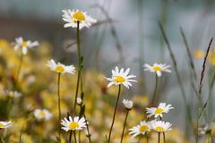 Chamomile flowers. Blooming meadow. River stock image