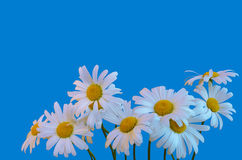 Chamomile flowers on a blue background.  Stock Photos