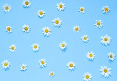 Chamomile flowers on the blue background. Top view. Copy space Stock Image