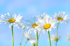 Chamomile flowers on blue sky background Royalty Free Stock Photo