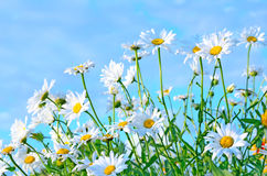 Chamomile flowers on blue sky background Royalty Free Stock Photography