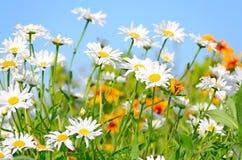 Chamomile flowers on blue sky background Stock Photo