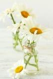 Chamomile flowers Royalty Free Stock Photo