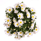 Chamomile Flowers Bouquet isolated Stock Images