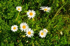 Chamomile  flowers bright beautiful on the lawn nature