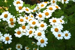 Chamomile Flowers. Bright Chamomile Daisy Flowers in the Summer Stock Photography