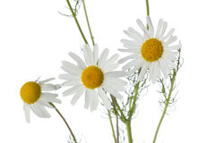 Chamomile flowers close up Royalty Free Stock Image