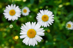 Chamomile flowers close up Royalty Free Stock Images