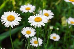 Chamomile flowers close up Stock Photo