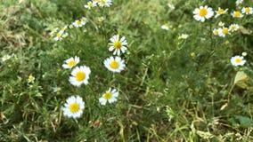Chamomile flowers stock footage