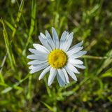 Chamomile flowers close up. Stock Photos