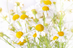 Chamomile flowers, close up view Stock Photography