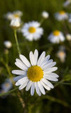 Chamomile flowers closeup. In the summer meadow Stock Photos