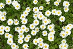 Chamomile flowers closeup Stock Photos