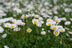 Chamomile flowers. Closeup of wild chamomile flowers Royalty Free Stock Image