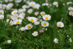 Chamomile flowers. Closeup of wild chamomile flowers Stock Photography