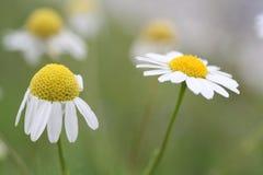 Chamomile flowers. Royalty Free Stock Image