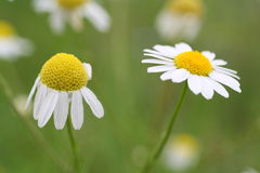 Chamomile flowers. Closeup of wild chamomile flowers Stock Images