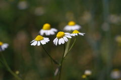 Chamomile flowers. Closeup of wild chamomile flowers.Close up with macro lens Stock Photography