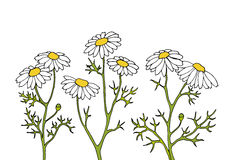 Chamomile. Flowers for composition, frame and other Stock Illustration