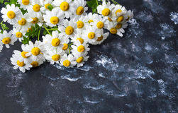 Chamomile flowers on dark background Stock Images