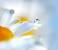 Chamomile flowers and drop of water Stock Images