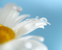 Chamomile flowers and drop of water Stock Image