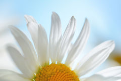 Chamomile flowers and drop of water Royalty Free Stock Images