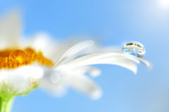 Chamomile flowers and drop of water Royalty Free Stock Image