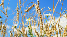 Chamomile flowers and ears of wheat Stock Images