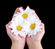 Chamomile flowers on female hands over black background. Royalty Free Stock Images